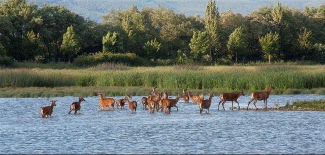 Ciervos en Salburua Vitoria Alava Gasteiz Euskadi Basque Country